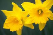 1月の誕生花と花言葉
