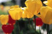 4月の誕生花と花言葉