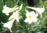 7月の誕生花と花言葉